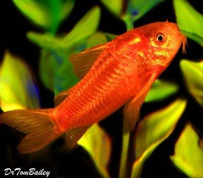 Premium WILD, Neon Orange Cory Catfish, also called the Gold Laser Cory