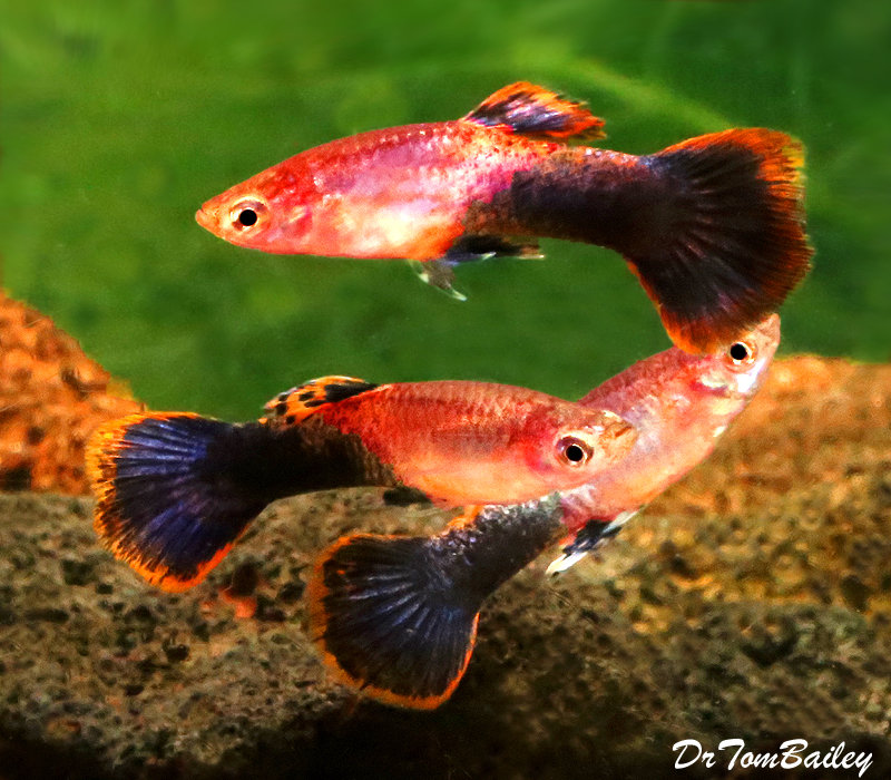 Premium MALE Pink Tuxedo Fancy Guppy