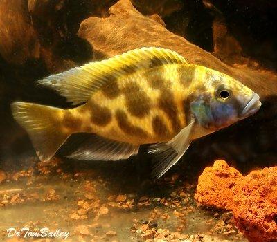 Premium Lake Malawi Venustus Hap. Cichlid