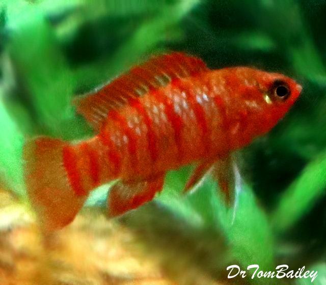 Premium WILD, Scarlet Badis, Nano Fish