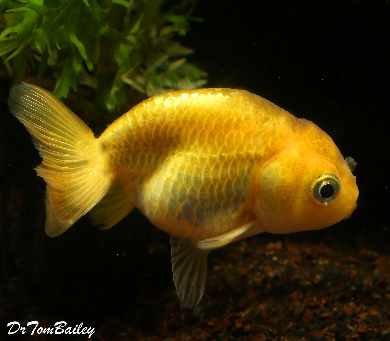 Premium Golden Ranchu Goldfish