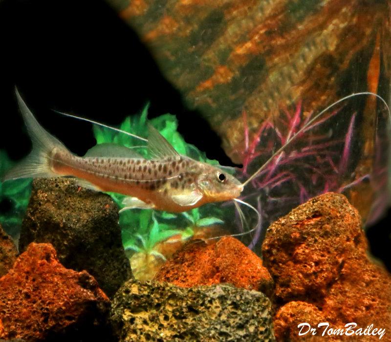 Premium WILD, Rare Pimelodus Maculatus Catfish