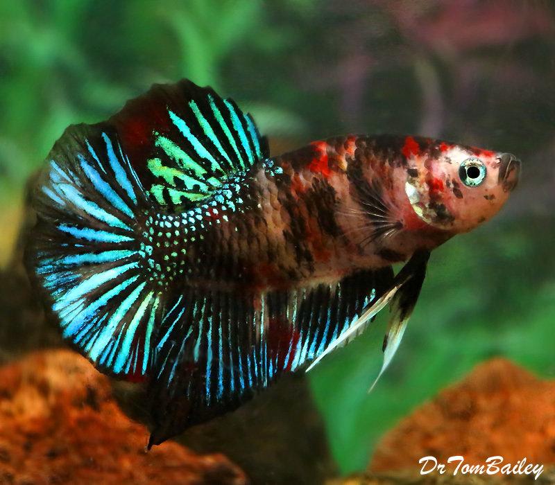 Premium MALE Rare Super Delta Koi Betta Fish