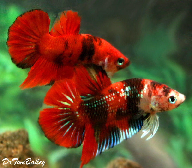 Premium MALE Rare Galaxy Koi Plakat Betta