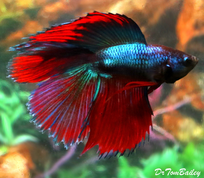 Premium MALE Doubletail Halfmoon Betta Fish