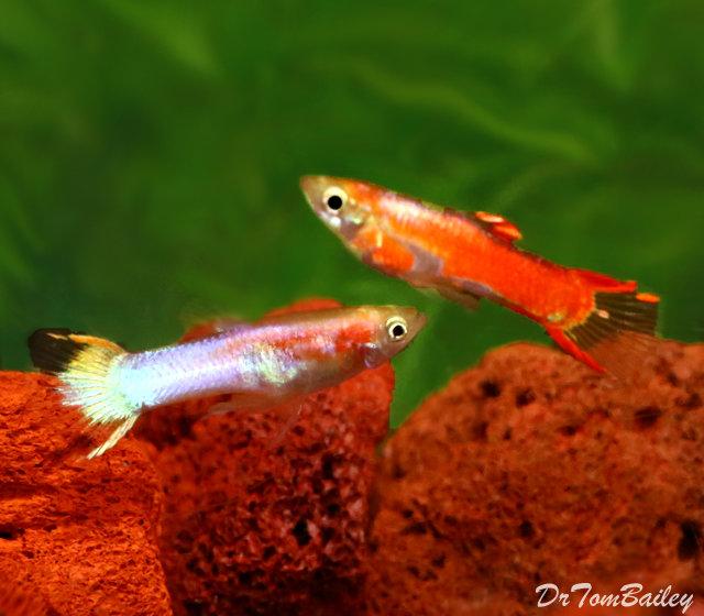 Premium MALE, New Rare, Fancy Rainbow Endler's Livebearer, Nano Fish