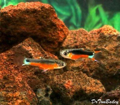 Premium MALE, New Rare, Fancy Santa Maria Hybrid Livebearer, Nano Fish