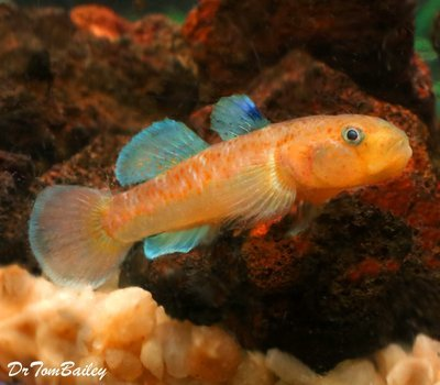 Premium New & Very Rare Red Spotted Goby