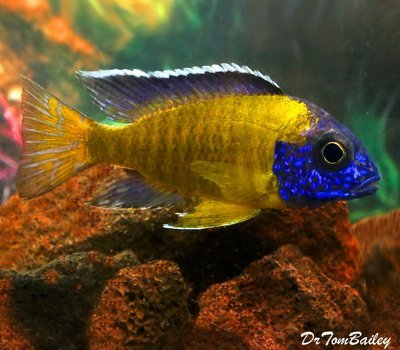 BABY Steveni Neon Blue Peacock Cichlid, from Lake Malawi, born here