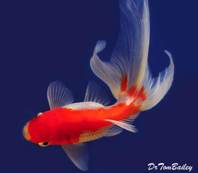 Premium Red & White Fantail Goldfish