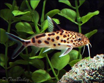 Premium Rare Synodontis Multipunctatus Catfish