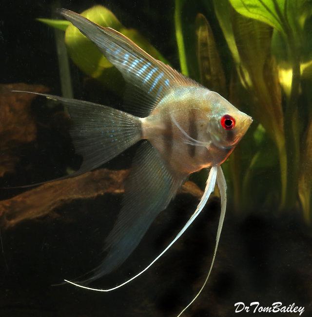 Premium Silver Veiltail Angelfish