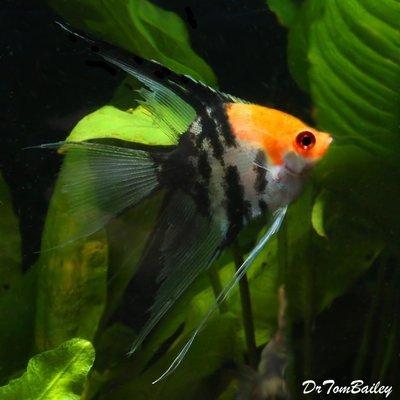 Premium Koi Veiltail Angelfish