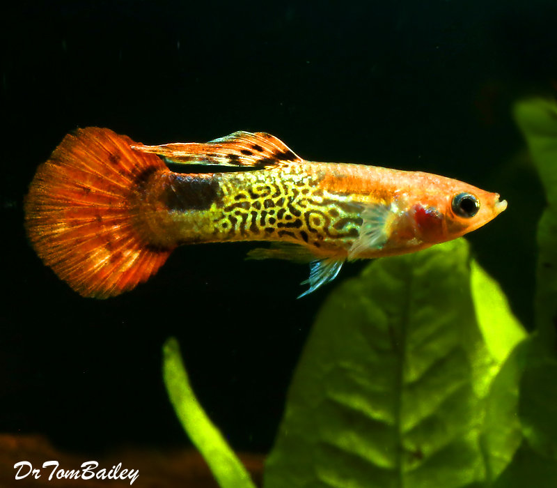 Premium MALE Red Cobra Fancy Guppy