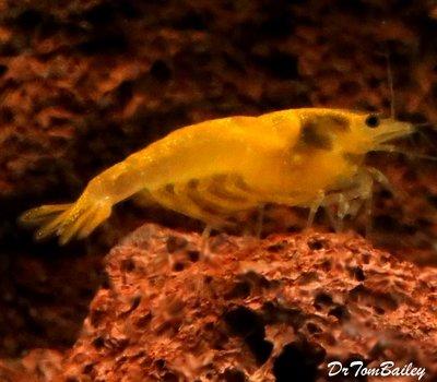 Premium Yellow Shrimp