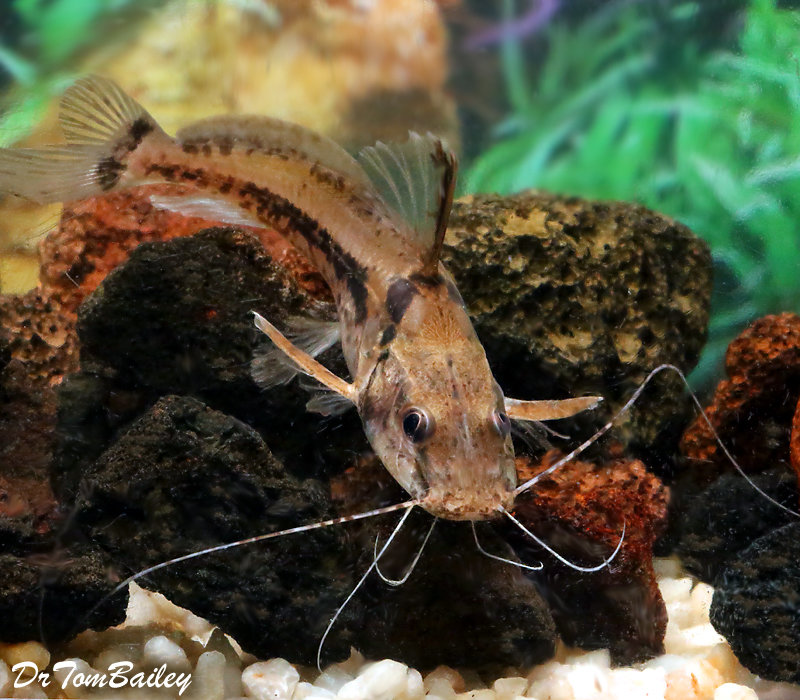 Premium New, Rare, Horsehead Catfish