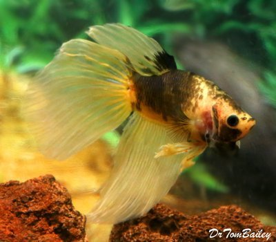 Premium, Rare, MALE Unique WYSIWYG Yellow and Chocolate Betta Fish