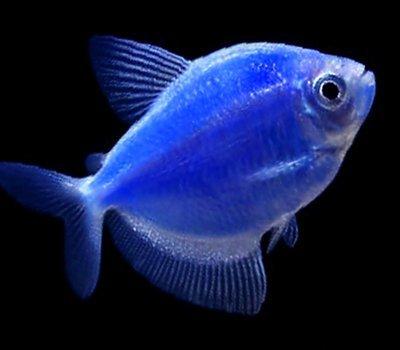 Premium Cosmic Very-Blue GloFish Tetra