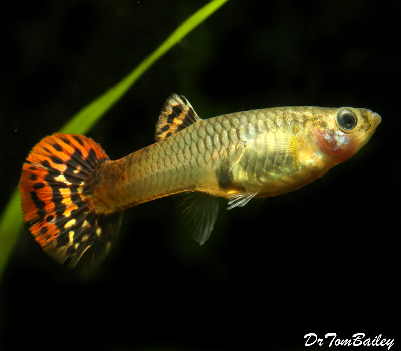 Premium FEMALE Red Cobra Fancy Guppy