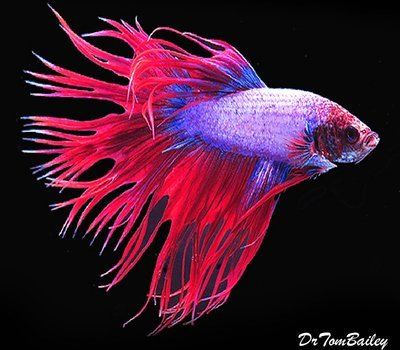 Premium MALE Cambodian Crowntail Betta