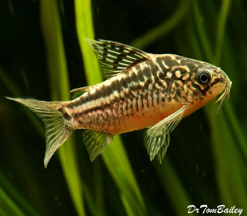 Premium WILD, Elegans Corydoras Catfish