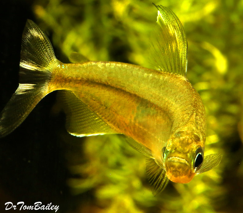 Premium Rare New, Yellow Congo River Tetra