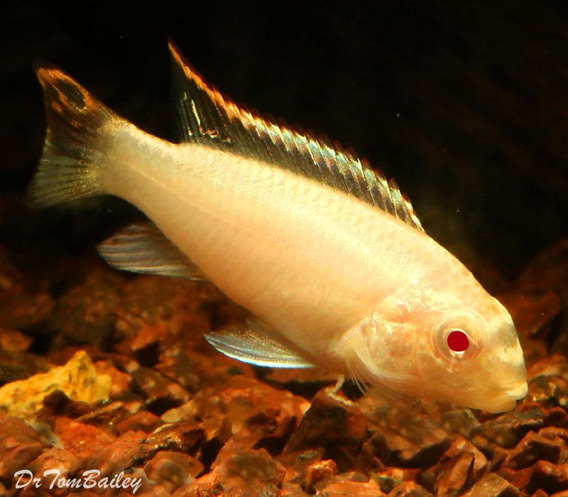 Premium Albino Kribensis Cichlid