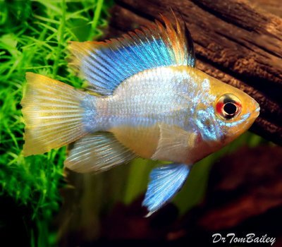 Premium Rare Electric Blue Balloon Ram Cichlid