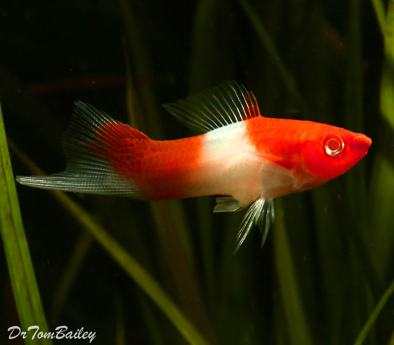 Premium New & Rare, Kohaku (Koi) Swordtail