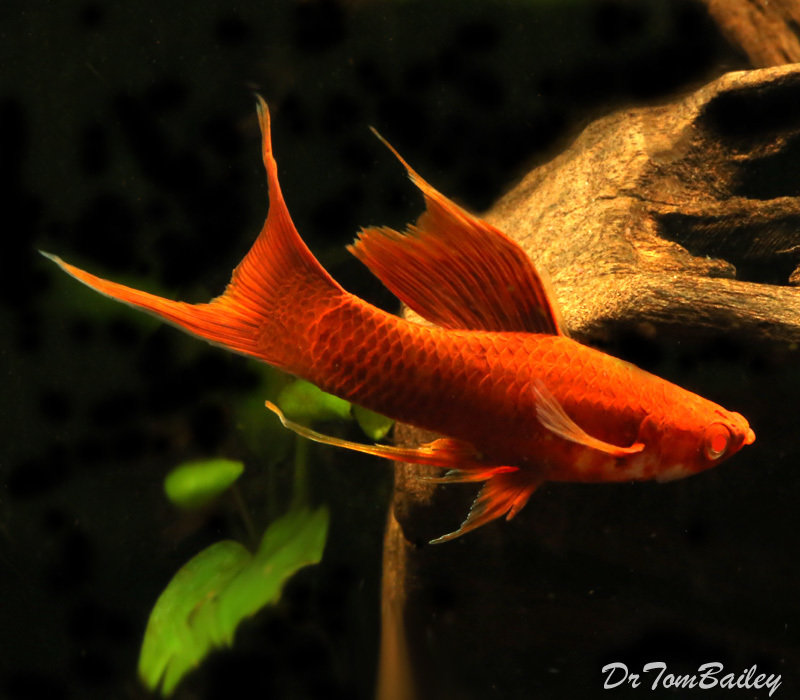 Premium Rare Red-Eye Red Lyretail Swordtail