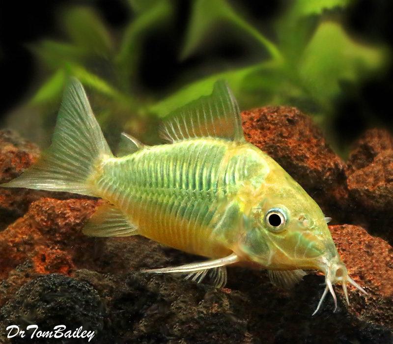 Premium Tank Raised, Emerald Green Catfish, Corydoras splendens