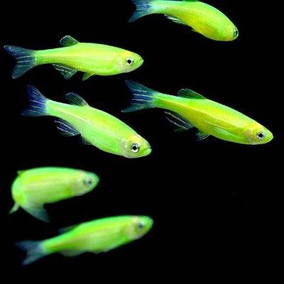 Premium Electric Very-Green GloFish Danio