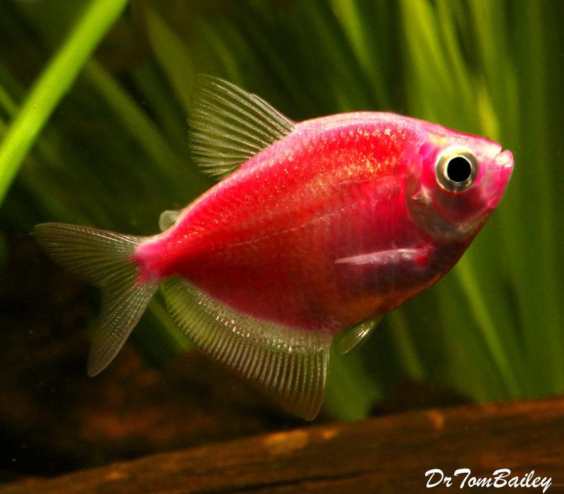 Premium Starfire Red-Red GloFish Tetra