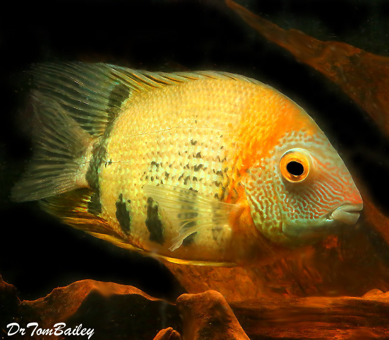 Premium Rare Red Shoulder Severum Cichlid