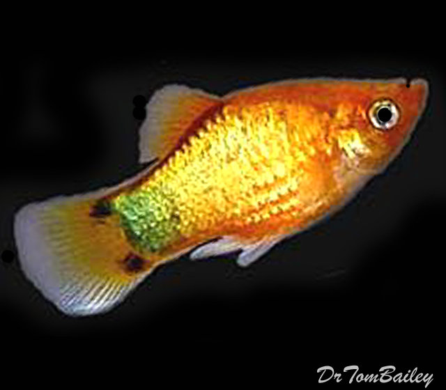 Premium Rare Neon Orange Sunburst Platy