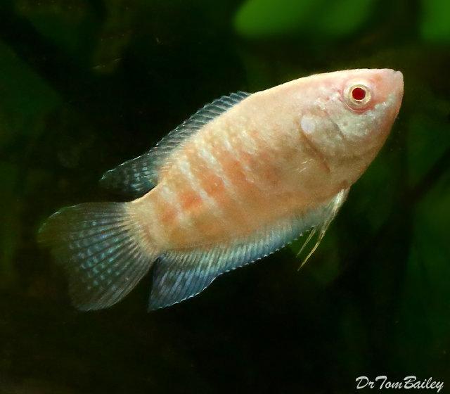 Premium Albino Paradise Fish