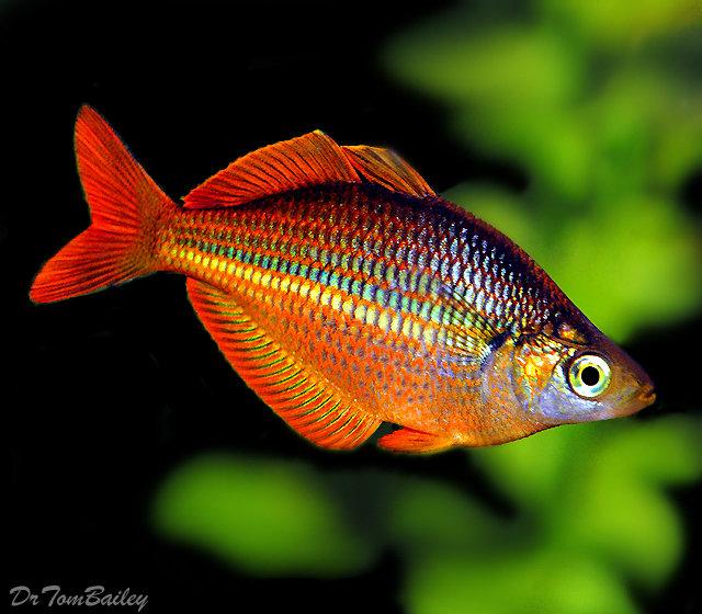Premium Trifasciata Rainbowfish
