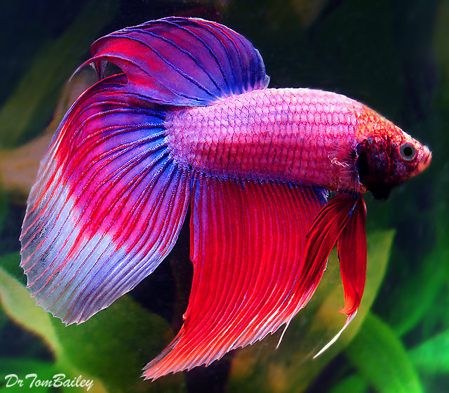 Premium MALE Cambodian Betta Fish