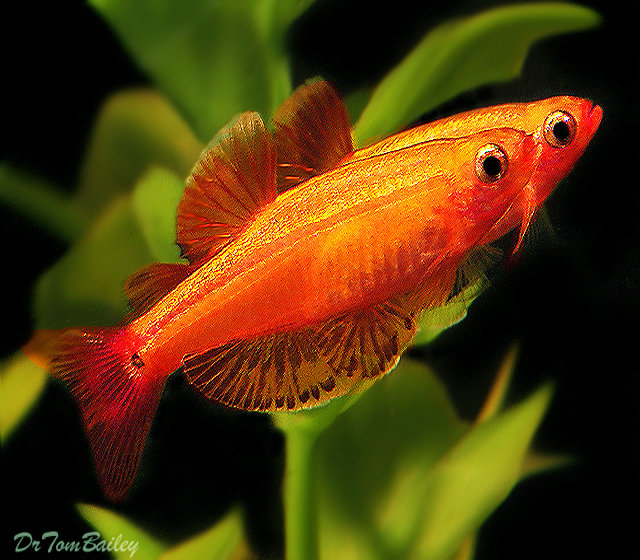Premium Golden White Cloud, Nano Fish