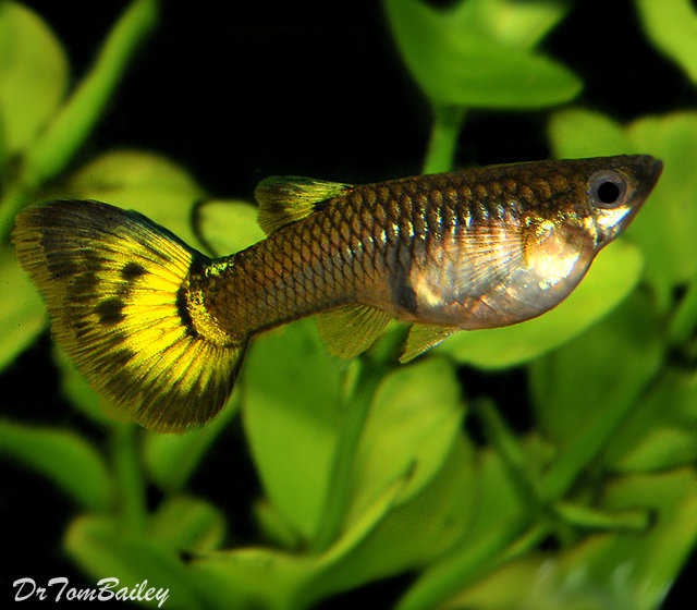 Premium FEMALE Fancy Assorted Guppies