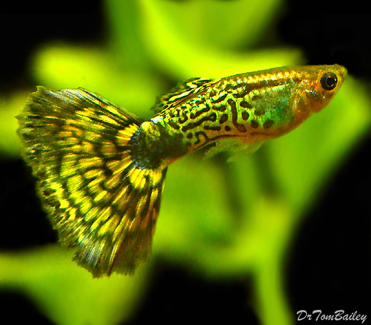 Premium MALE Green Cobra Fancy Guppy