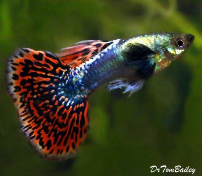 Premium MALE Rare Dumbo Ear Fancy Guppy
