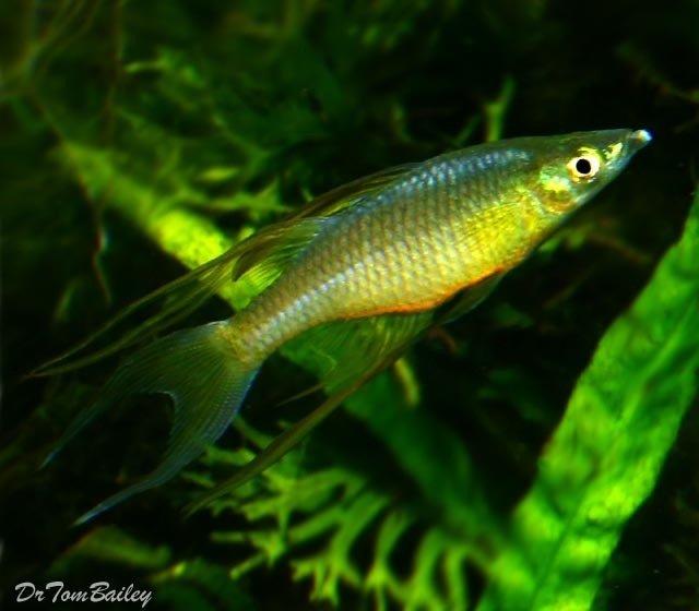 Premium Threadfin Rainbowfish, Nano Fish