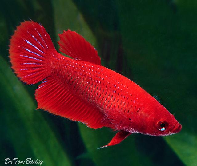 Premium FEMALE Red Betta Fish