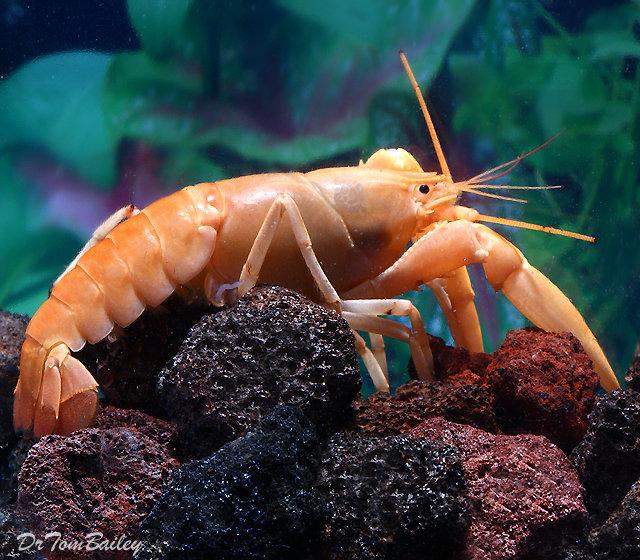Premium Rare Freshwater Apricot Lobster