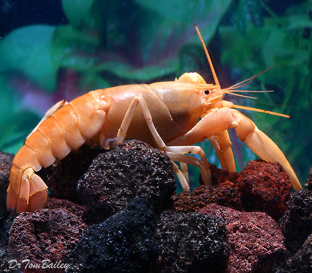 Premium Rare Freshwater Apricot Lobster