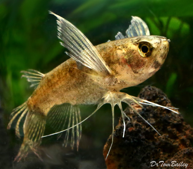 Premium WILD, African Butterfly Fish