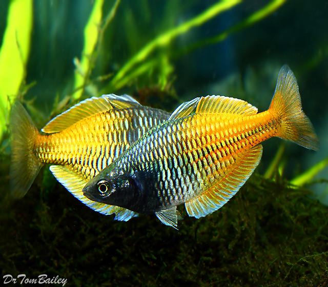 Premium Boesemani Rainbowfish