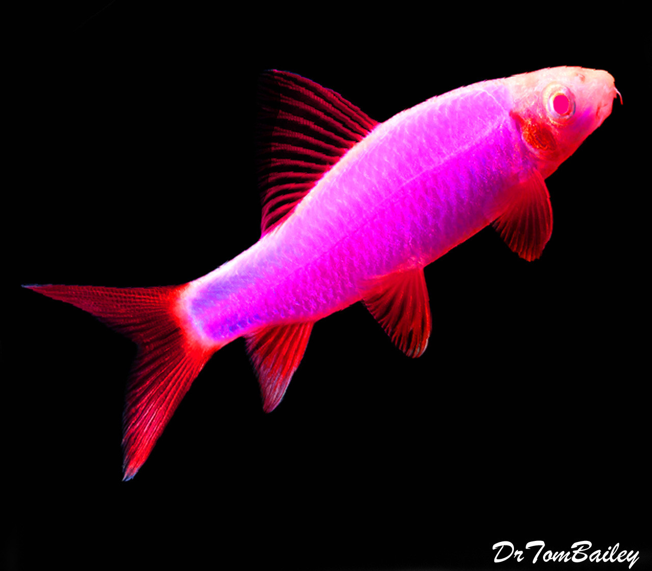 Premium Galactic Very-Purple GloFish Rainbow Shark