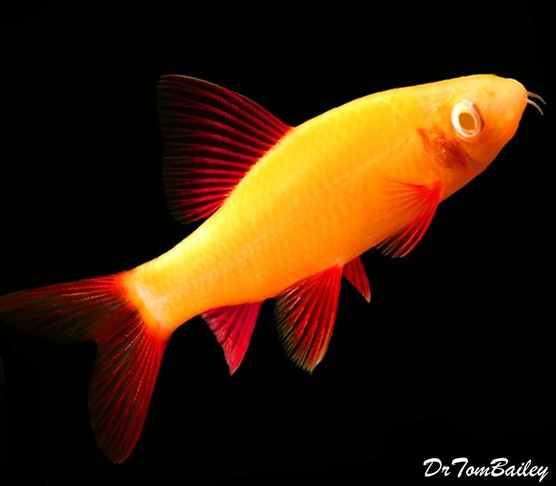 Premium Sunburst Orange GloFish Rainbow Shark